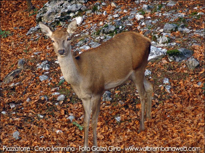 Immagine cervo femmina for Corna cervo