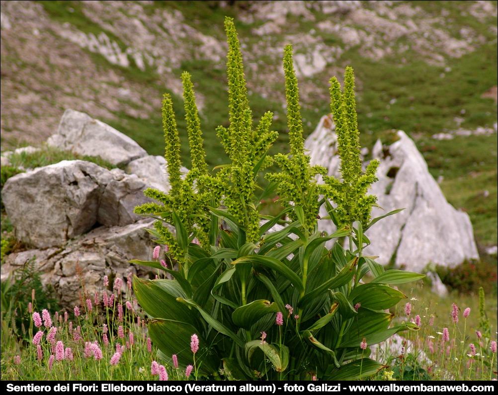 Fiori di montagna orobie for Elleboro bianco