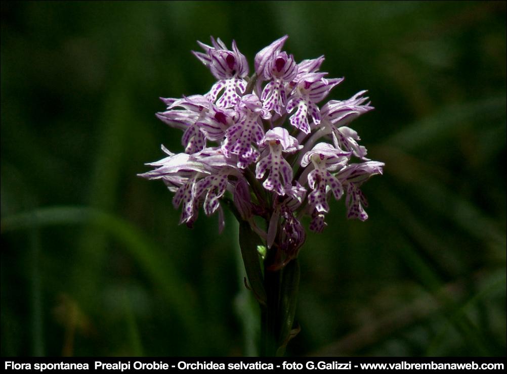 bonne nuit dans image bon nuit, jour, dimanche etc. orchidea-selvatica