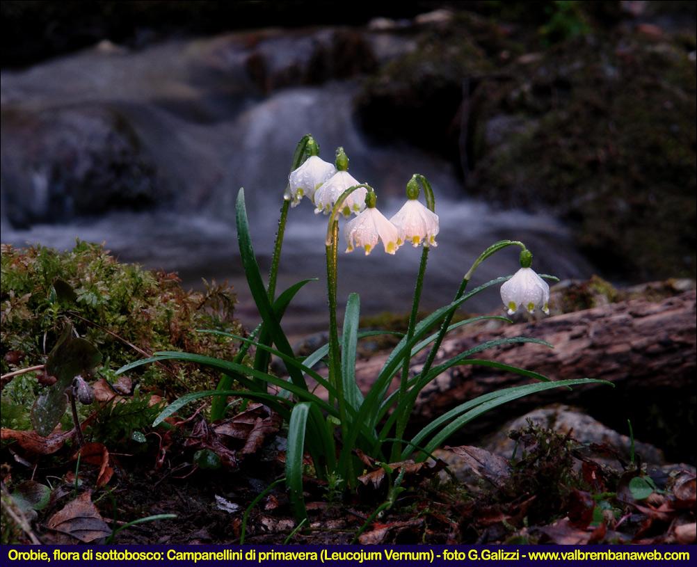Valle brembana manifestazioni valle brembana 02 07 03 for Nomi di fiori bianchi