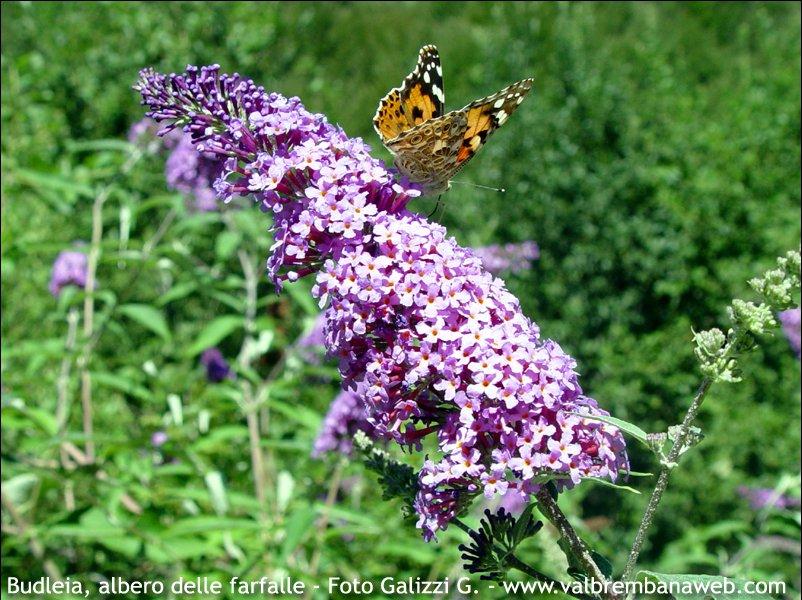 Buddleia Albero Delle Farfalle