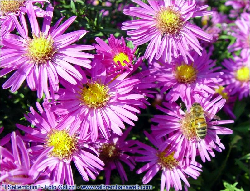 Flora alpi orobie - Settembrini fiori ...