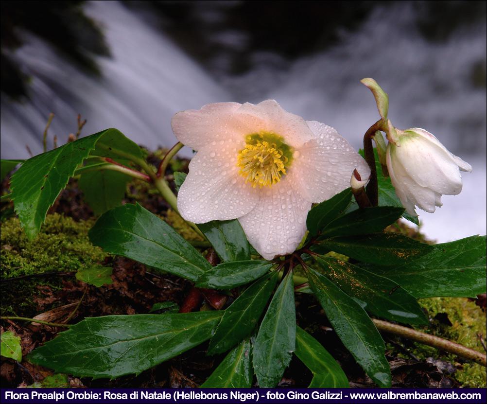 Fiori Da Giardino In Montagna fiori di montagna orobie