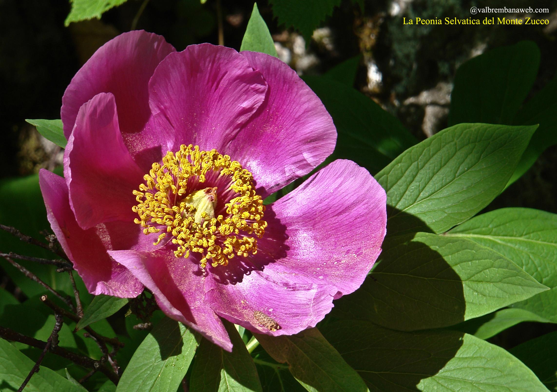 Fiori Selvatici Foto E Nomi fiori di montagna orobie
