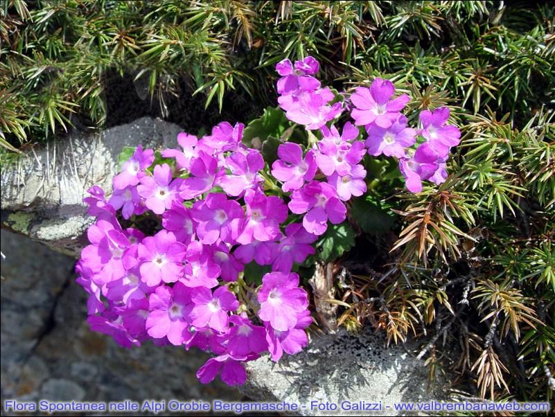 flora alpi